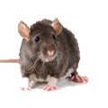 Rats Pest Control - Trinity Pest Solutions
